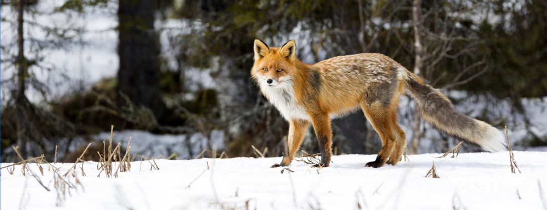 Red fox, Vulpecula, in winter time